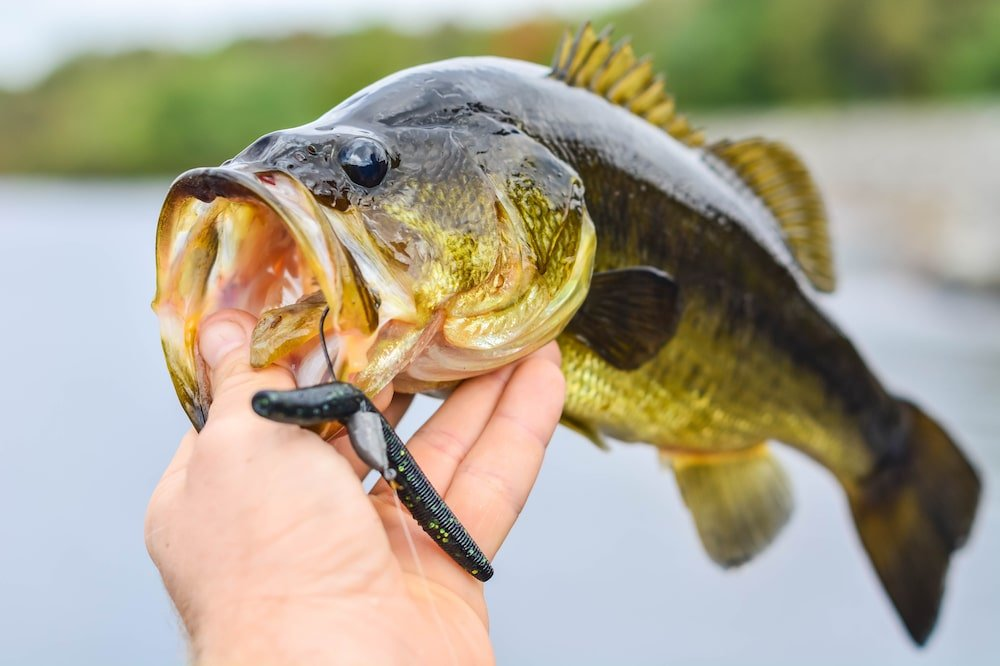A bass caught with a plastic worm