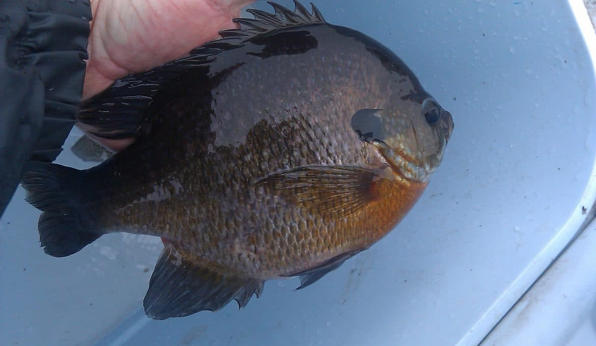 Large bluegill in bucket